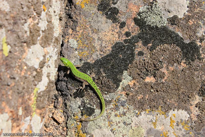 Зеленая ящерица в заповеднике Каменные могилы