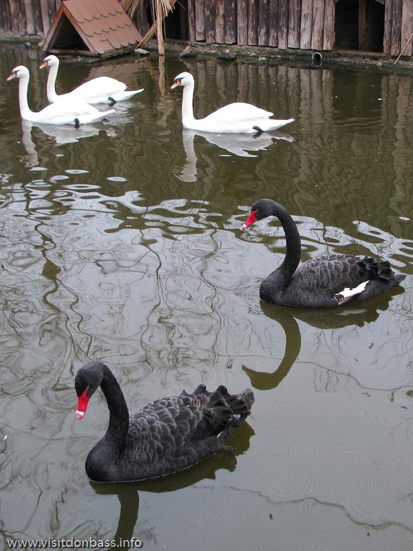 Черные лебеди в зоопарке Деревня Вашуры в Сартане