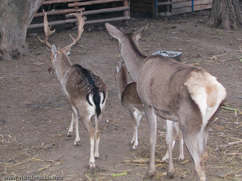 Олени в зоопарке Деревня Вашуры в Сартане около Мариуполя