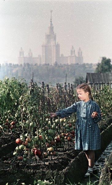 1953 В Лужниках почти созрели помидоры. Фото Сергея Васина