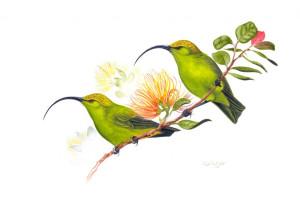 Гавайская серпоклювка Акиалоа