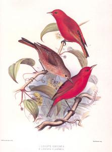 Красная гавайская древесница