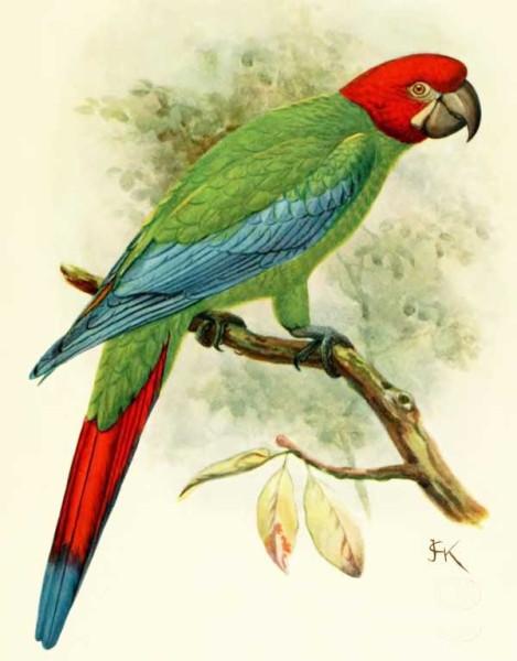 Жёлто-зеленый ямайский ара
