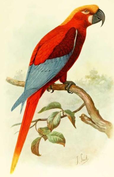 Красный ямайский ара (Ara gossei)