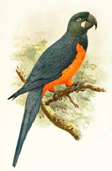 Мартиникский ара