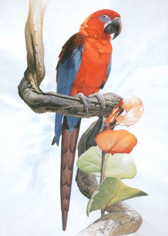 Трёхцветный кубинский ара