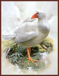 Белая султанка