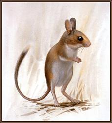 Короткохвостая тушканчиковая мышь
