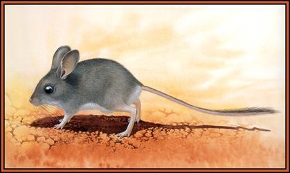 Большеухая тушканчиковая мышь