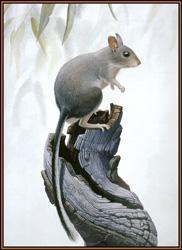 Белоногая кроличья крыса