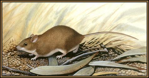 Ложная мышь Гульда