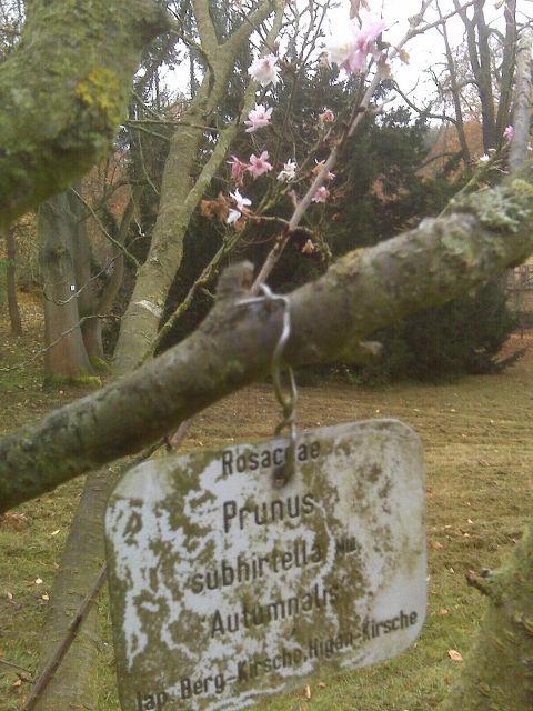 IMG00197_Potsdam_Higan_Kirsche_2014-11-09_small