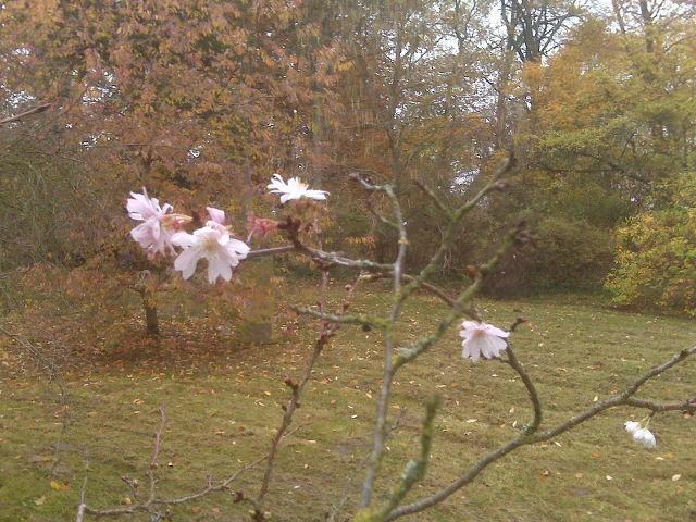 IMG00196_Potsdam_Higan_Kirsche_2014-11-09_small