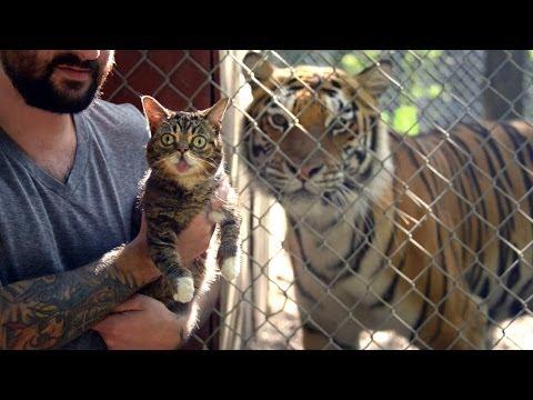 Парень показал тиграм котёнка (видео)