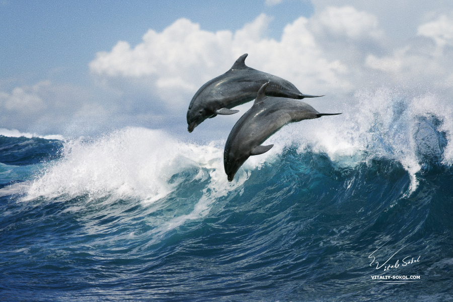 Wild Dolphins Leaping from Ocean surfing wave