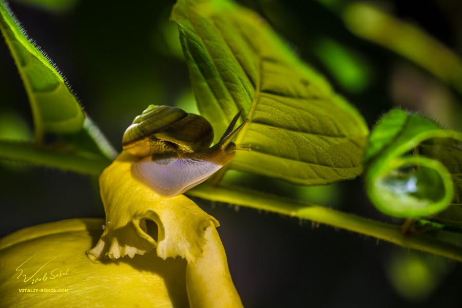 Улитка на листьях, макроснимок