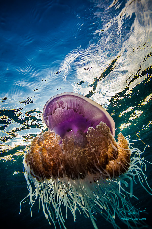 Beautiful jellyfish, medusa in the neon light with the ripples. Ocean with pink jellyfish and water surface. Underwater life jellyfish in ocean.
