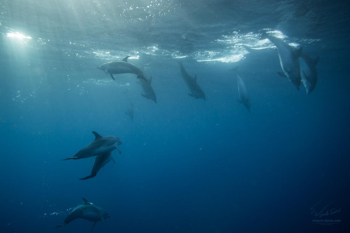 Стая дельфинов под водой