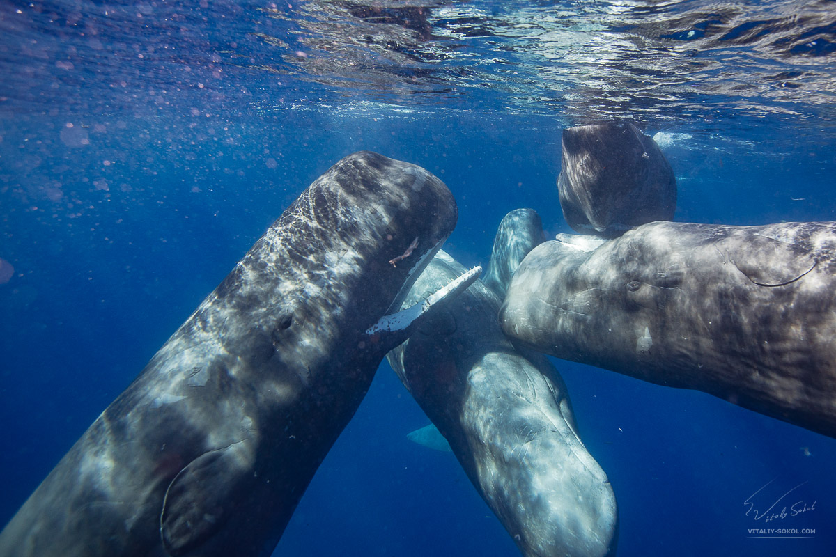 A Pod of spermwhales in open water in Azores