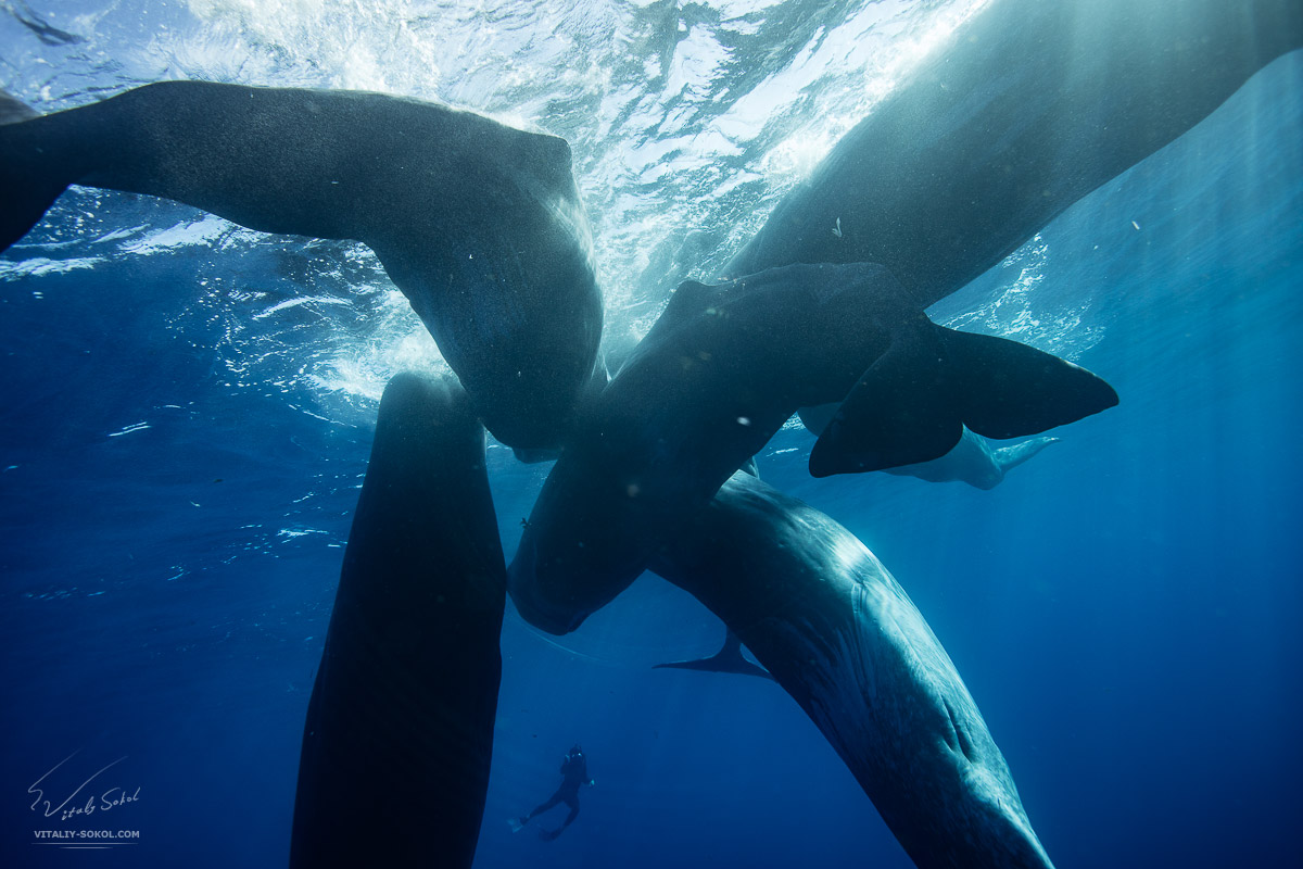 A pod of spermwhales underwater in Azores