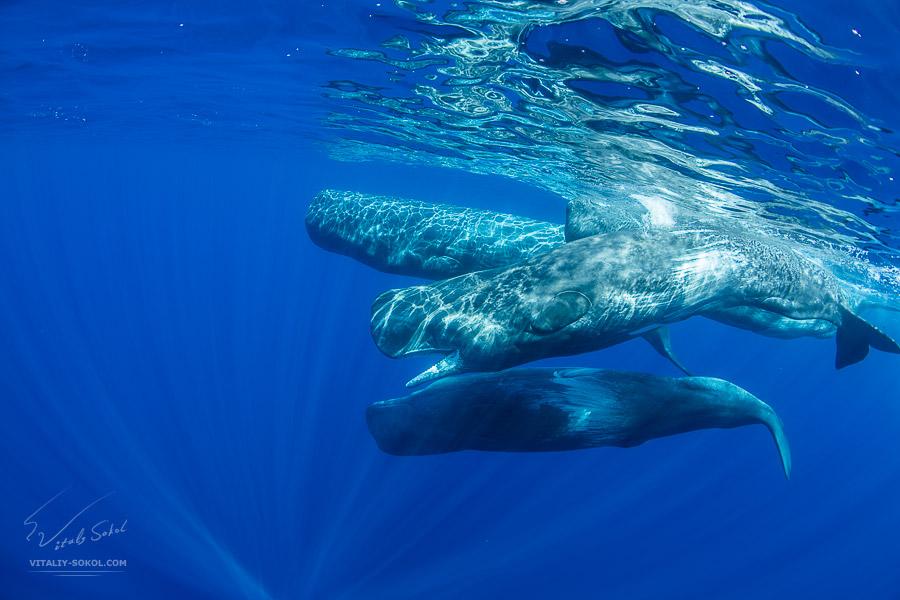 Группа кашалотов под водой. Снимок сделан на Азорских островах, в Атлантическом океане.