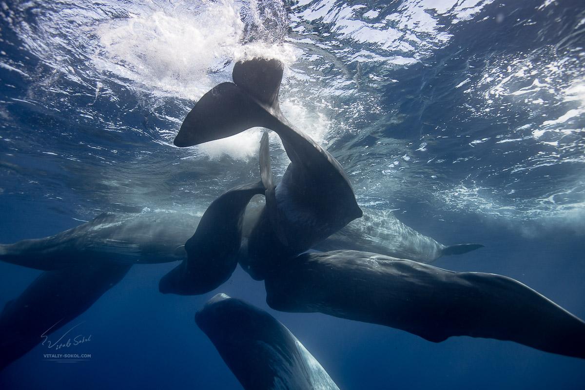 A pod of seven spermwhales underwater. Azores, Atlantic ocean, San Miguel.