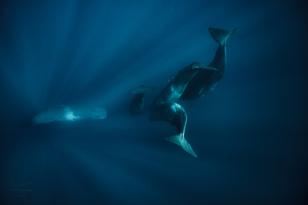 Кашалоты под водой в стае. A Pod of spermwhales diving down to abyss