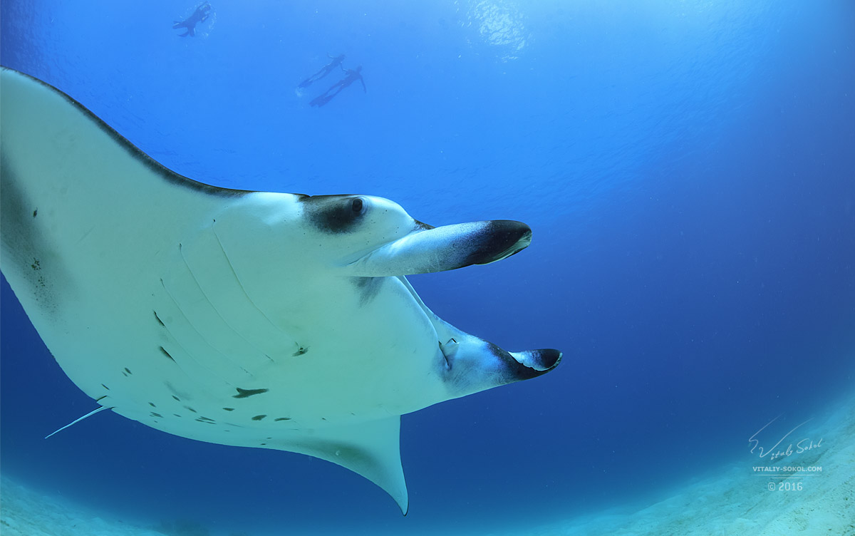 Manta ray floating over sand in Indian ocean. Big marine animal skate and group of snorkelers on the blue water background. Underwater wildlife scenery view from bottom