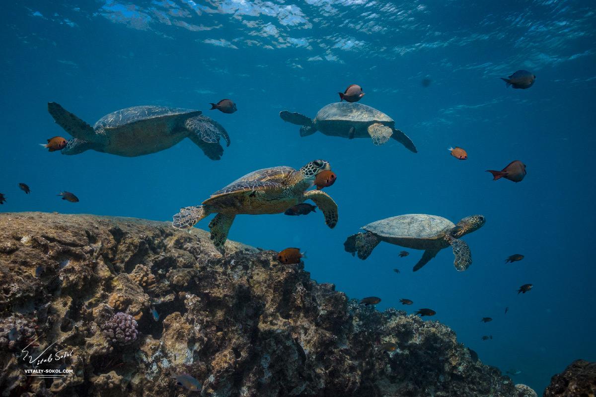 Черепахи под водой
