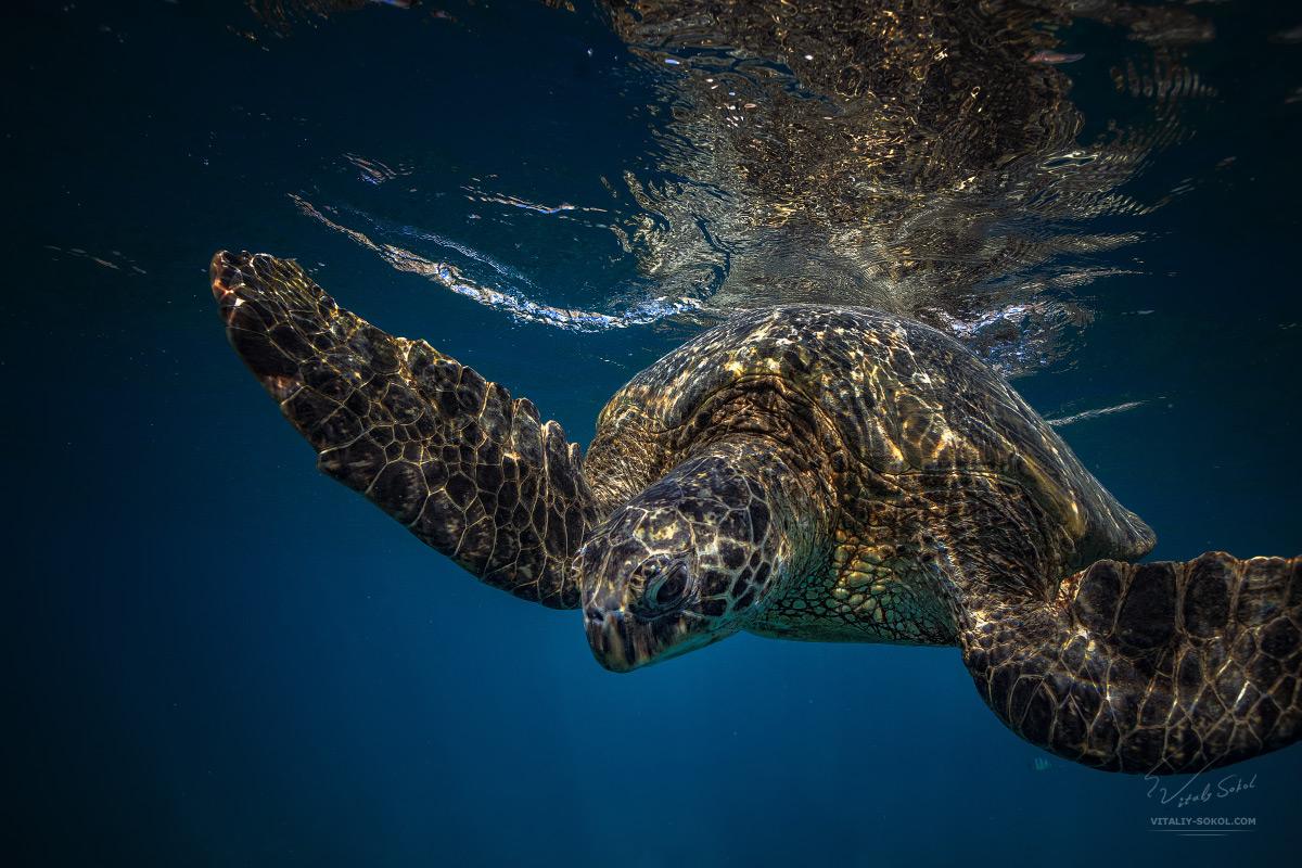 Большая морская черепаха под водой