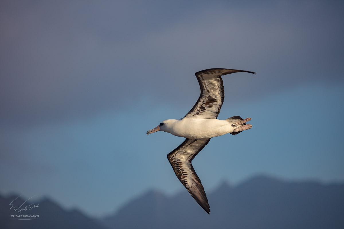 Альбатрос в небе