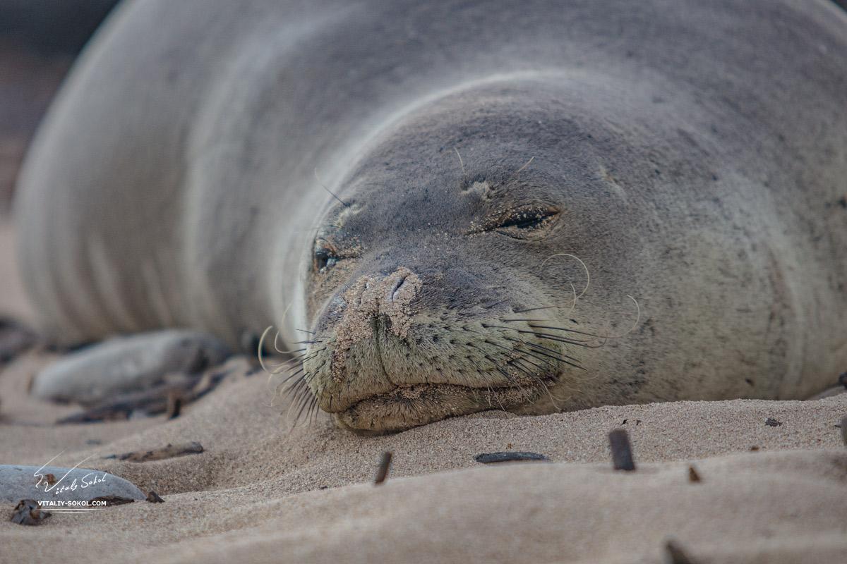 Тюлень Монах на гавайском песке