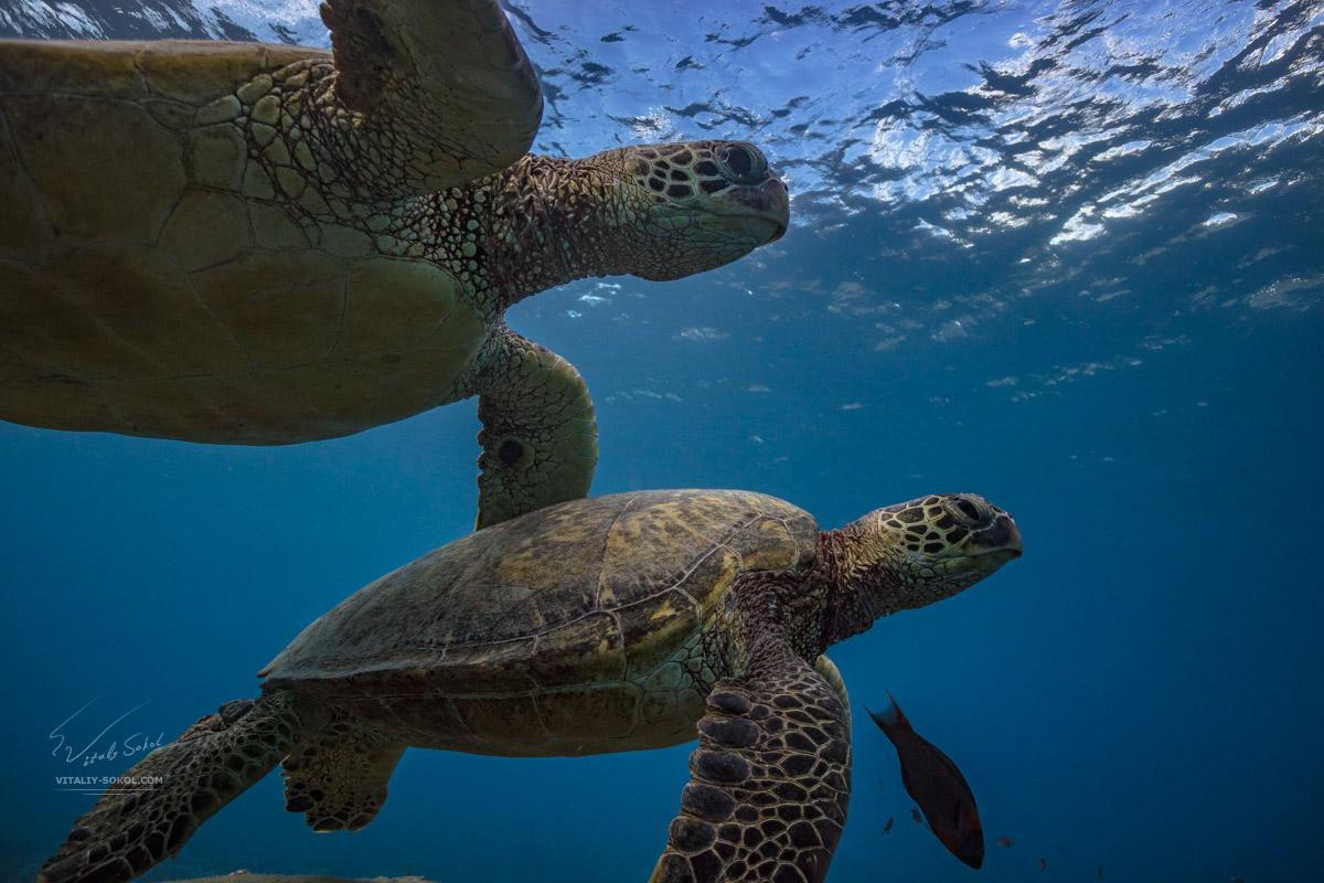 Морские черепахи в естественной среде обитания
