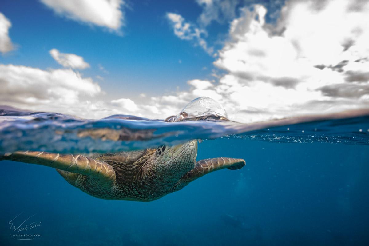 Сплит в пол-воды с черепахой в Тихом океане