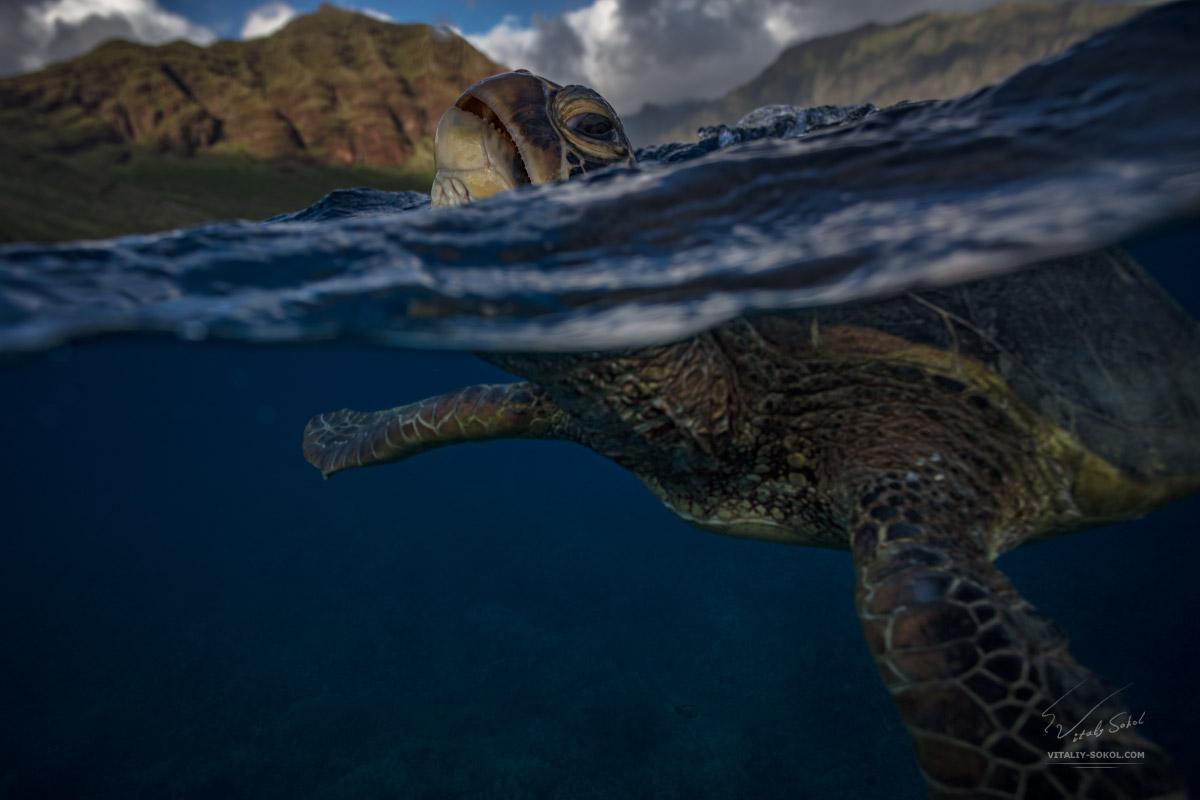 Морская черепаха надводная и подводная часть
