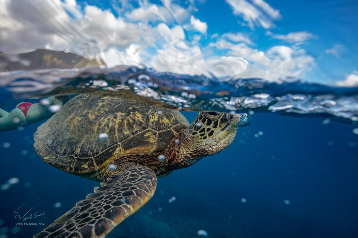 Морская черепаха на Гавайях