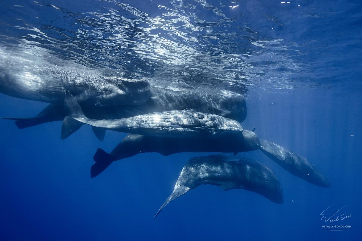 Spermwhales underwater