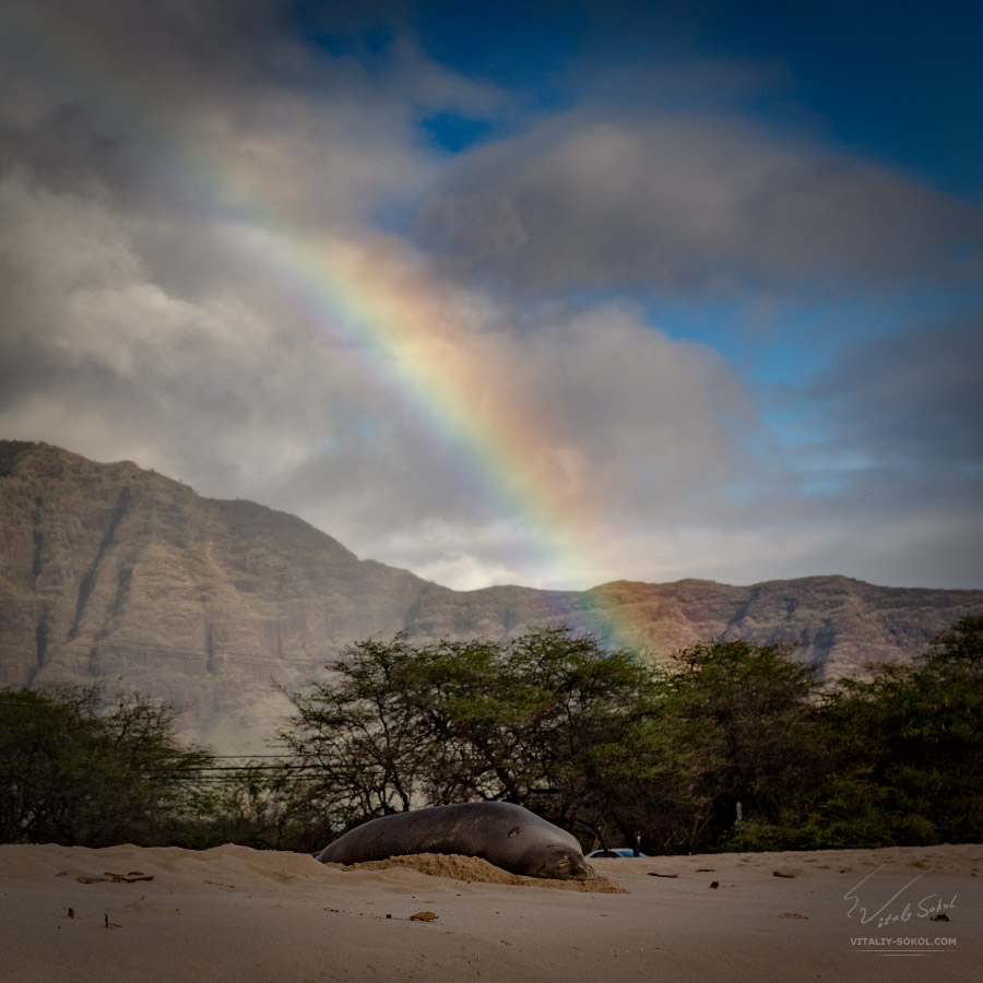 MOnk seal under rainbow in Hawaii