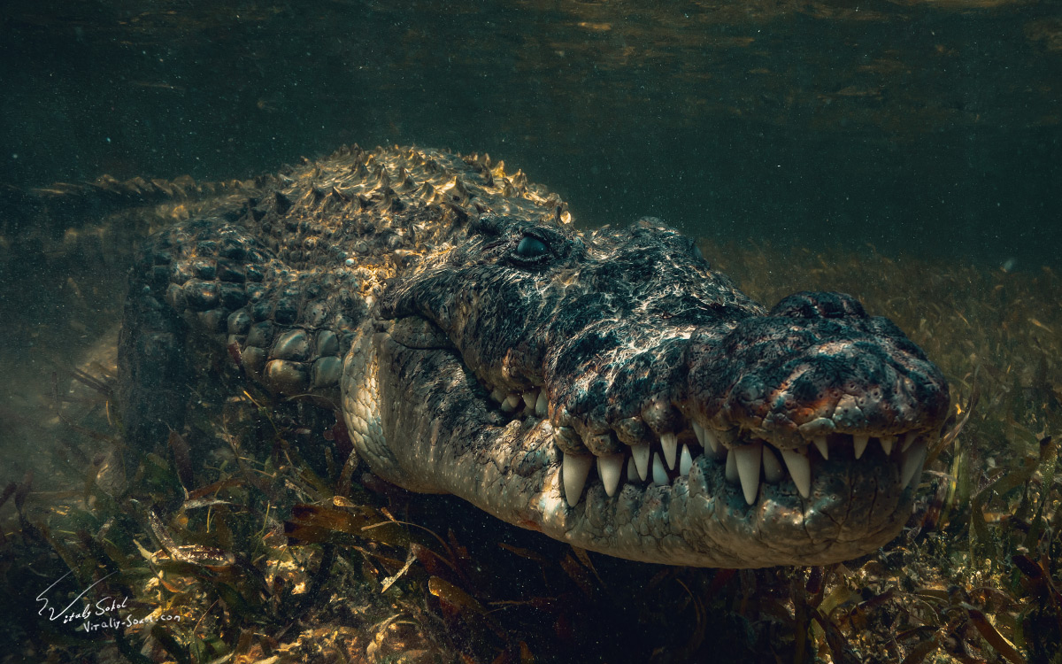 Mexico. Chinchorro. Crocodile underwater