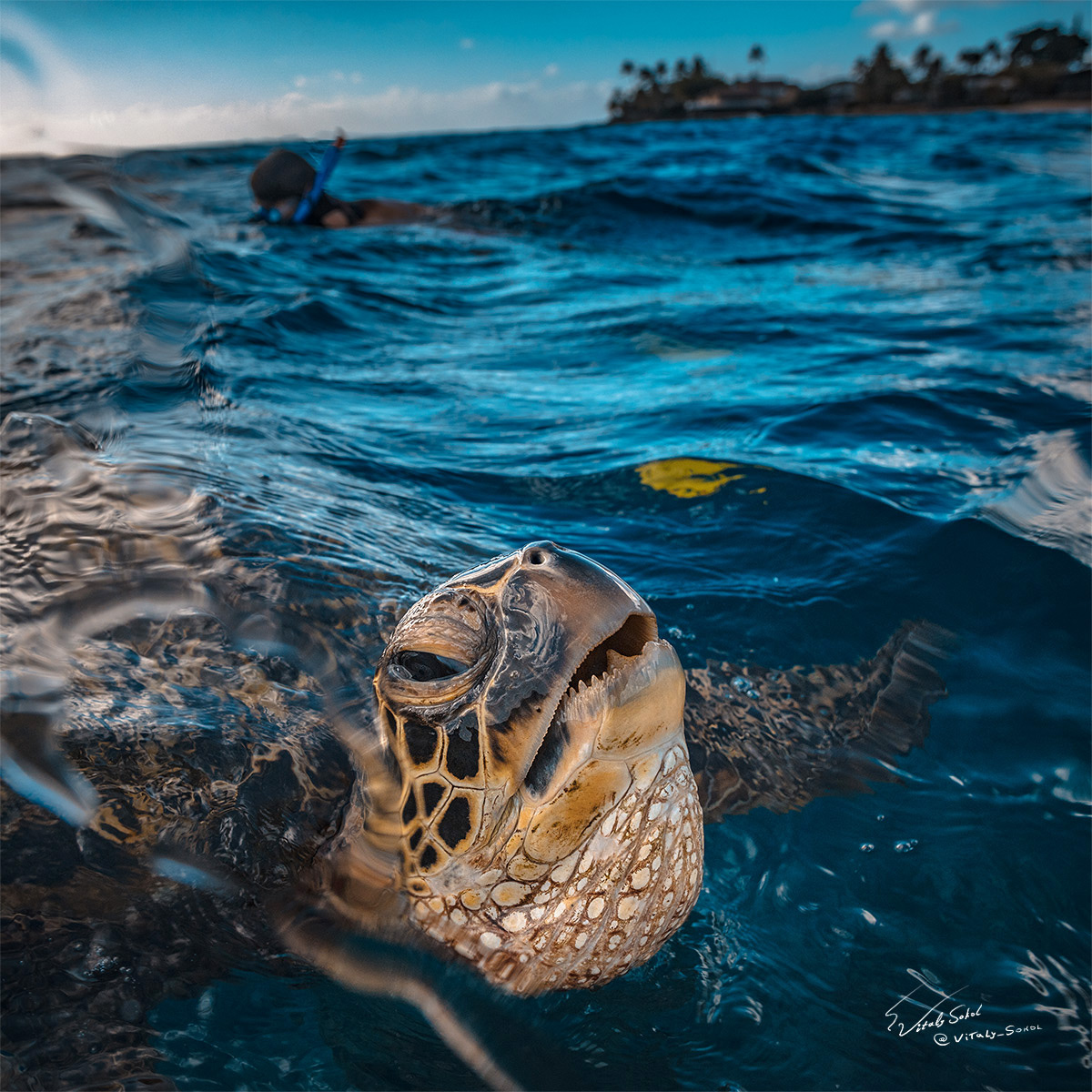Turtle at water surface
