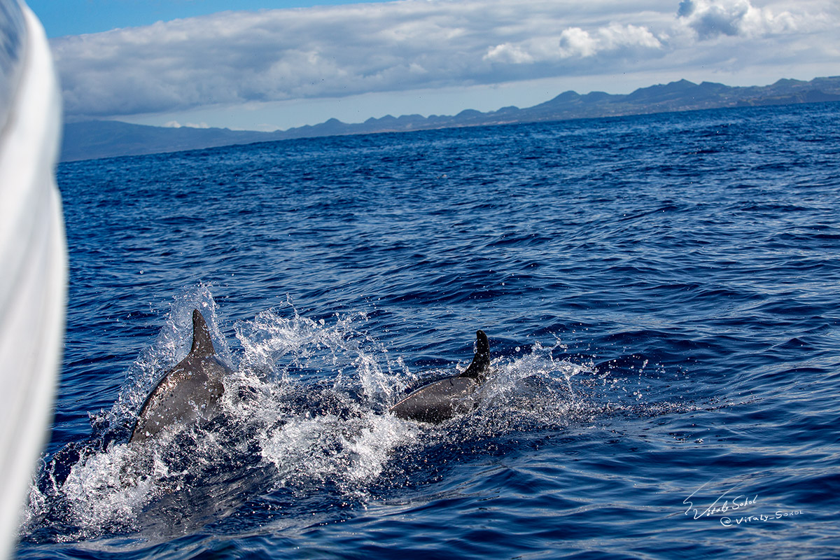 Leaping dolphins following boat