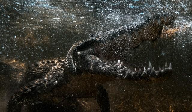 Нырялка с крокодилами в дикой природе на банке Чинчорро