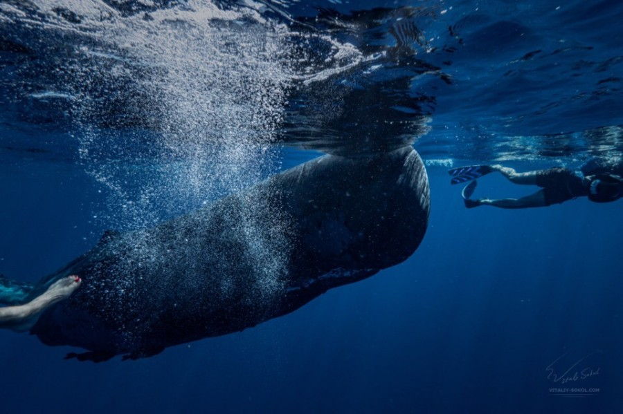 Friendly Spermwhale swimming with people