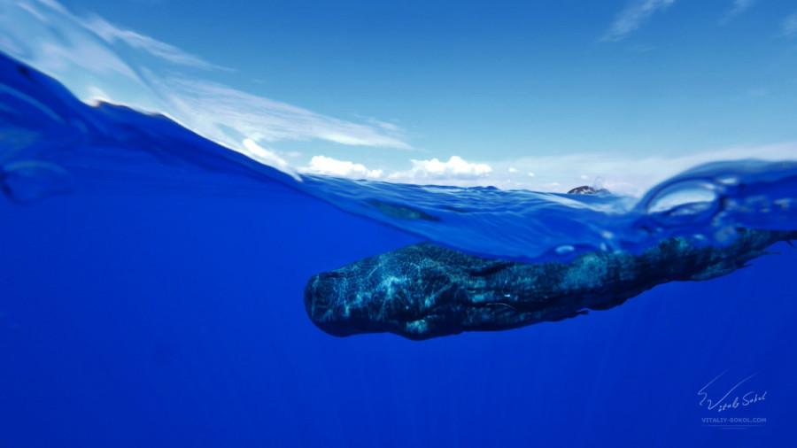 Spermwhale, underwater split shot by Will Falcon www.shutterstock.com/g/willyam?searchterm=underwater
