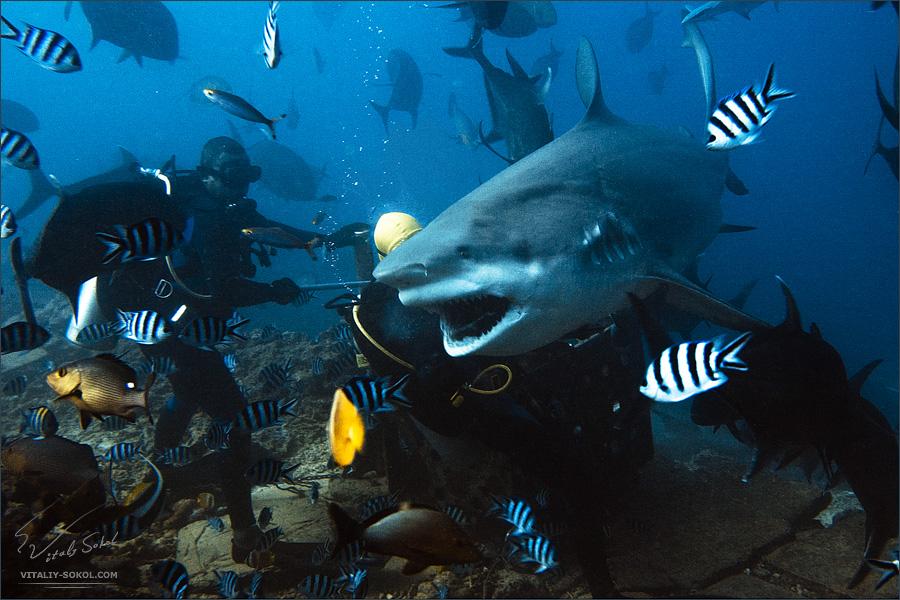 Fiji. Bullshark