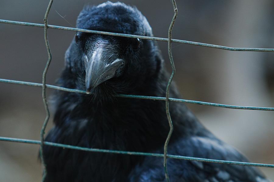 Raven, Ворон Джордж