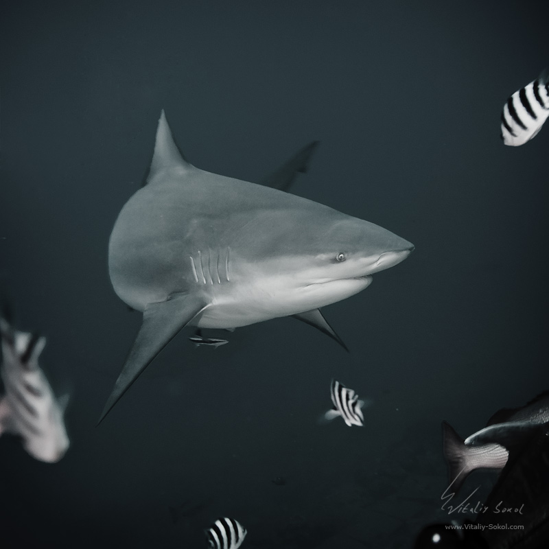 Shark. Bullshark underwater. Fiji shark diving with BAD