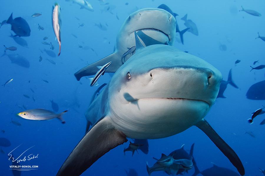Виталий Сокол. Подводная съемка акул.