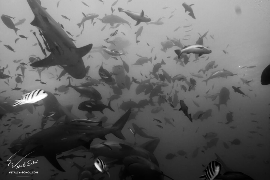 Бычьи акулы острова Фиджи