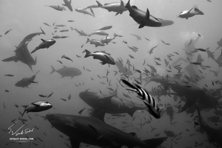 Акулы острова Фиджи